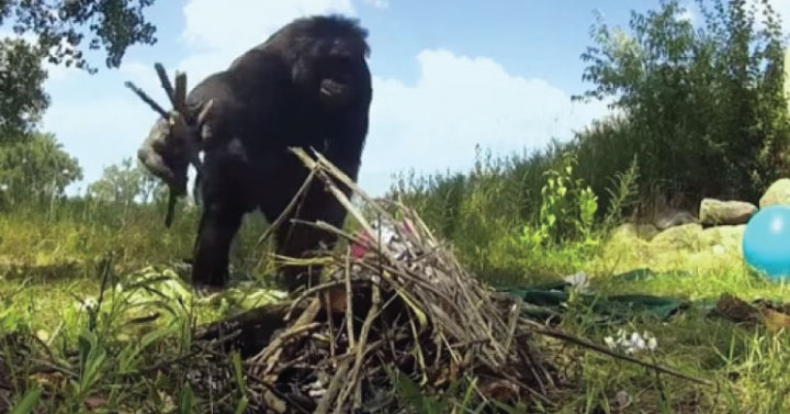 This Bonobo Starts Fires, Cooks His Own Food, AND Knows 3,000 English Words [Watch] 0