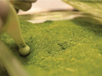 Moringa Is Known As 'The Miracle Tree,' And Its Powers Are Spreading Worldwide